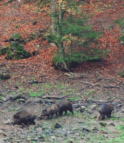 Een groep wilde zwijnen in de Ardennen